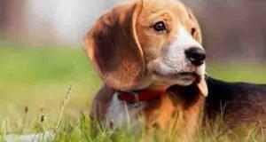зодиак собака